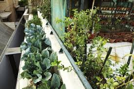 good and fresh growing vegetables in rain gutters