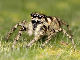 jumping spiders moon atlantic