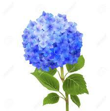 Hydrangea Flowers 5 013 Hydrangea Cliparts Stock Vector And Royalty Free Hydrangea