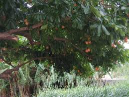 Ackee Fruit Tree - 71 best ackee images on pinterest jamaica fruit trees and