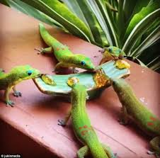 Seeking Lizard Cast Geckos Eat Guava Jelly For Their Breakfast In Hawaii Daily Mail