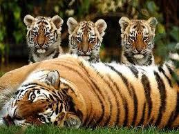 roarrrrr for jungle tiger great cats of the