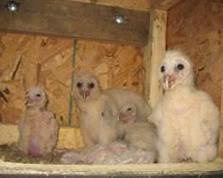 barn owl biology natural history barn owl box company