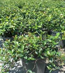grays ornamentals growers of ornamental tropical plants and