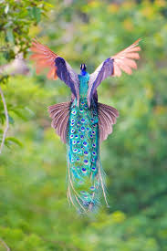 25 best peacocks ideas on pinterest beautiful birds peacock