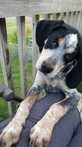 bluetick coonhound apparel bluetick coonhound border collie mix hounds pinterest