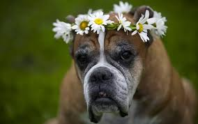 boxer dog female facts boxer dog facts 18 facts about boxer dogs facts net