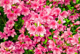 native north american plants azaleas at the farm the martha stewart blog