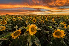 sunflower pictures five sunflower fields to visit in new boston magazine