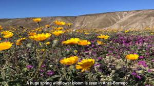 diamond valley lake in california super bloom spectacular