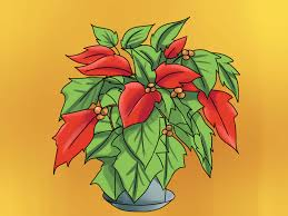Plants That Don T Need Natural Light by How To Keep Poinsettias Growing To Next Christmas 15 Steps