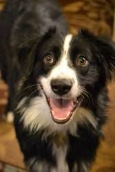 australian shepherd energy cocoa is an adoptable australian shepherd dog in texarkana tx