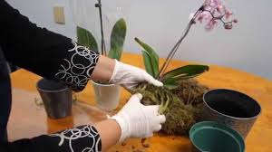orchids care orchid care trick how to save your potted orchid from dying