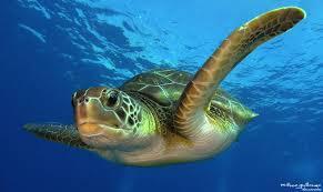 imagenes tortugas verdes tortuga verde chelonia mydas