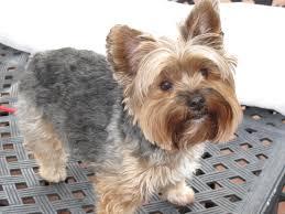 yorkie poo haircuts boy yorkie yorkie boy by bark avenue my