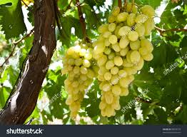 clusters white table grapes hang vine stock photo 58872125
