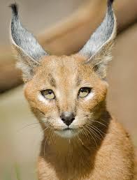 cats oregon zoo