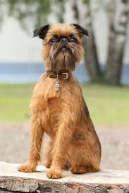 affenpinscher vs brussels griffon 6 dog breeds with beards american kennel club