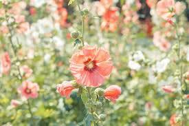 best perennials for full sun gardens in the pacific northwest