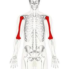 Anatomy Of The Shoulder Girdle Humerus Wikipedia