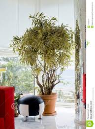 plant dracaena reflexa royalty free stock photography image