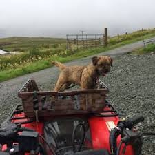 affenpinscher jakt hector at lochbay on the croft searching for his elusive rabbits