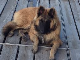 belgian malinois size at 6 months welcome to u003cfont size u003d