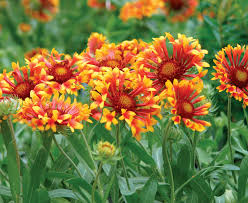 Long Blooming Annual Flowers - perennials for the edge fine gardening
