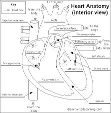 External Heart Anatomy Heart Anatomy Glossary Printout Enchantedlearning Com