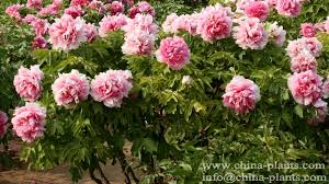 of china tree 21 colorful peonies to update your outdoor and indoor decor