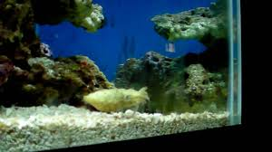 Home Aquarium by Dwarf Cuttlefish Exploring His Home Youtube