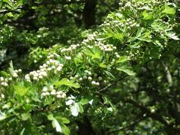 hawthorn the tree of may living in season time seasonal