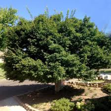 The B Welcome To The B List Of Shade Trees San Antonio Express News