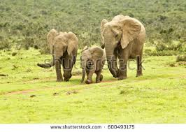 elephants family on nature walk vector image free vector