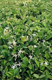 star jasmine on trellis asian star jasmine monrovia asian star jasmine