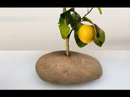 put a lemon cutting in a potato and it grow