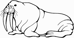 super ideas walrus coloring pages print for kids page on dltk