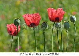 stock photo of ornamental poppies ornamental poppy flowers