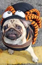 Spider Dog Halloween Costume Woof Night Dogs Dressed Hallowe