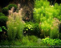 Plants For Aquascaping Aquascaping Shop For Tropical Planted Tank U0026 Nature Aquarium