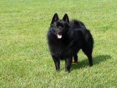 belgian sheepdog for sale philippines schipperke dog photo philippines schipperke breeders grooming