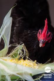 30 best kids love chickens images on pinterest chicken breeds