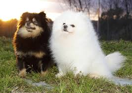 colored poms pomeranian information and facts