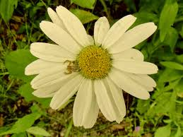 Daisy The Flower - a korean flashback 2 i was a rice paddy spider man the goat