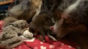 australian shepherd welpen 6 monate australian shepherd welpen 3 tage alt youtube