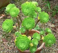 irish native plants plants u0026 flowers desert pinwheel rose