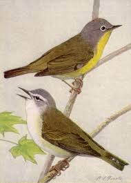 file nashville and tennessee warblers ngm v31 p312 a jpg