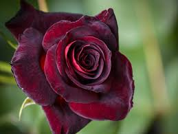 top 20 rose images love beautiful in the world aha images