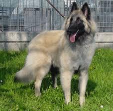 belgian sheepdog gif white belgian sheepdog