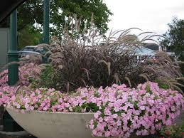 don t overlook the subtle of ornamental grasses tribune